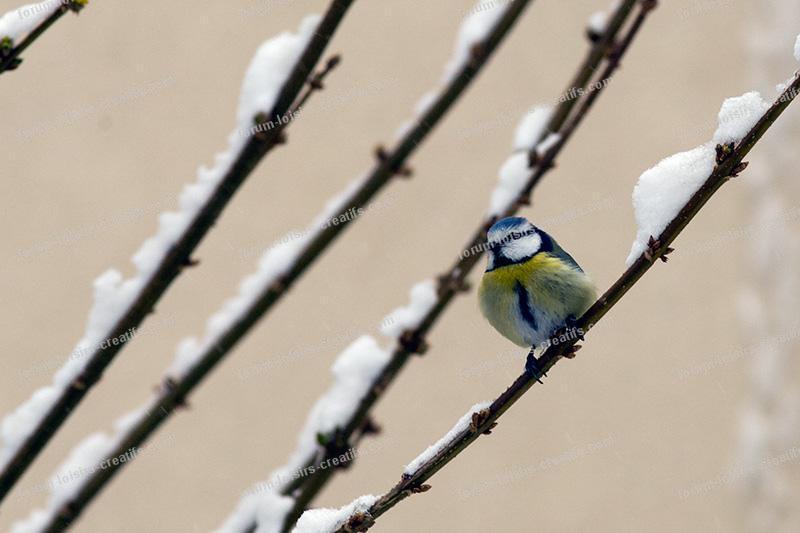 mésange même les oiseaux ont froid